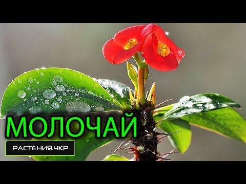 Молочай эуфорбия / комнатное растение молочай (1 часть)