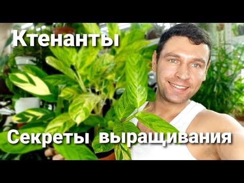 Ктенанты секреты выращивания /Уход/Полив/Размножение/Трудности в выращивании