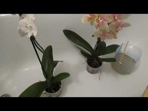 1-ая обработка орхидей от трипса и панцирного клеща 17.02.2017