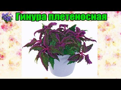 Гинура плетеносная (Gynura sarmentosa).Содержание и уход