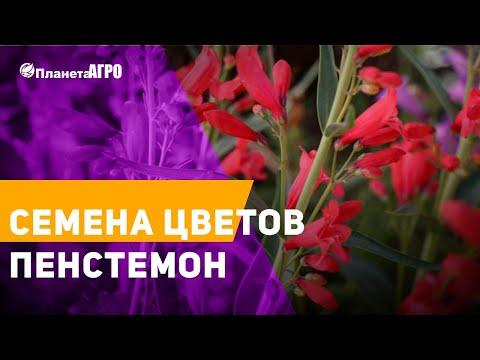 🥀 Семена цветов Пенстемон 🌿 Планета Агро