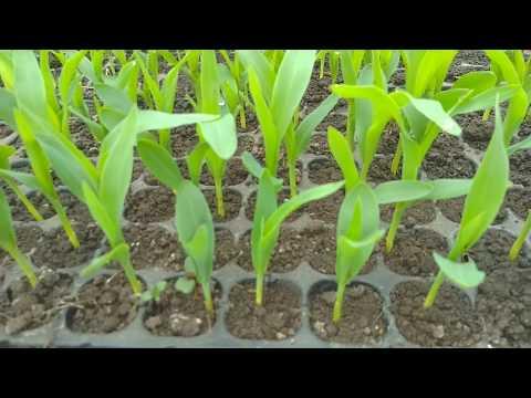 Рассада сладкой кукурузы.Март!
