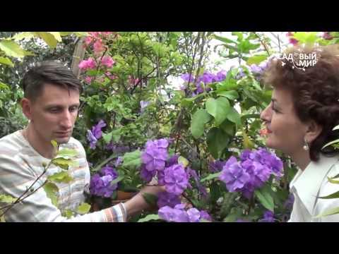 """Редкие комнатные растения Брунфельзия. Сайт """"Садовы мир"""""""
