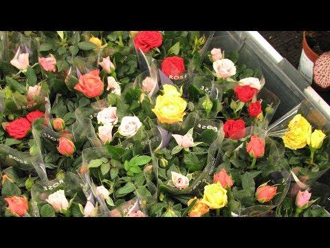 Как сохранить розу, купленную в горшке. Комнатные розы.