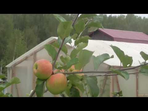 Первый урожай на яблоне Слава победителям. (карликовая)