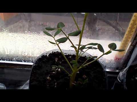 Как вырастить арахис в домашних условиях?