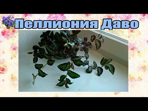Комнатное растение пеллиония Даво (Pellionia daveauana) содержание и уход