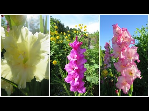 ГЛАДИОЛУСЫ. Осенняя выкопка и хранение клубнелуковиц // How To Store Gladiolus For The Winter