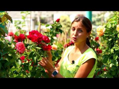 Лучшие сорта плетистых роз. МОЙ САД на канале Дача.
