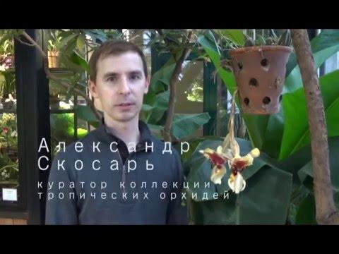 Стангопея тигровая, или Орхидея-бык, расцвела в «Аптекарском огороде»
