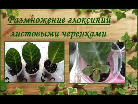 Размножение глоксиний листовыми черенками или фрагментами листа