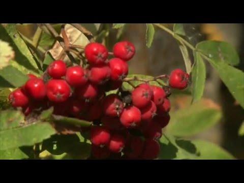 Рябина красная (обыкновенная)