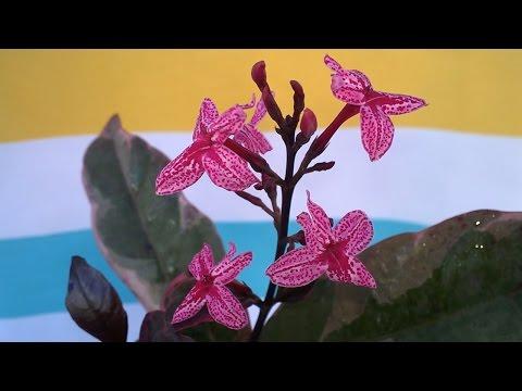 ПСЕВДЭРАНТЕМУМ расцвел!!! Pseuderanthemum. Мои цветы. Доминикана.