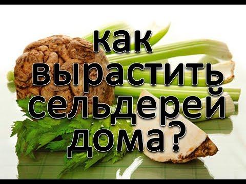 Как выращивать сельдерей на подоконнике?