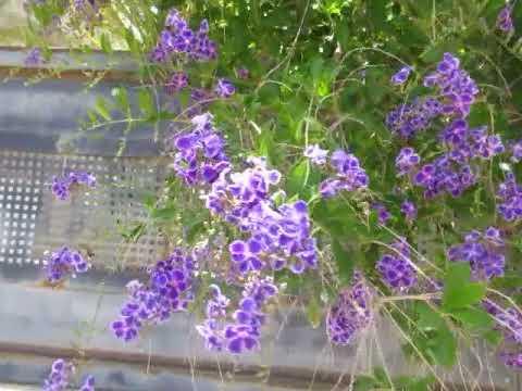 Красавица Дуранта ползучая (Duranta erecta (repens) LКирьят-Ям.Израиль.Israel