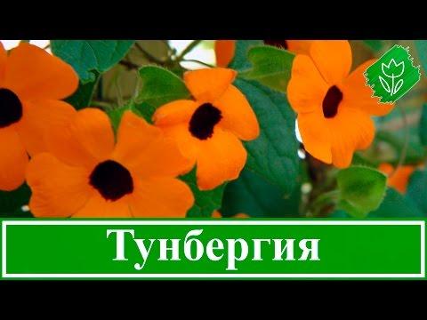 Цветок тунбергия – посадка и уход, выращивание тунбергии из семян
