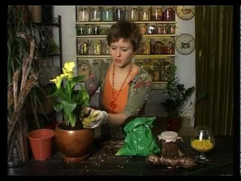 Ботаника. Калла или зантедеския