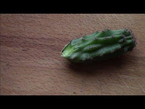 Кактус. Как укоренить обломок кактуса?
