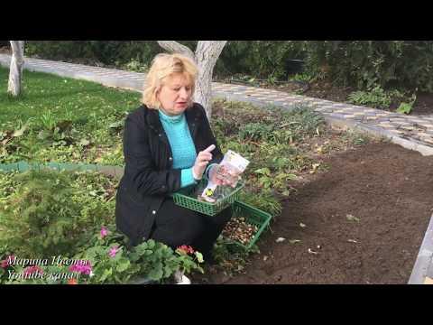 Нарцисс - Особенности посадки и выращивания.