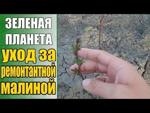 Выращивание ремонтантной малины / Весенняя подкормка малины