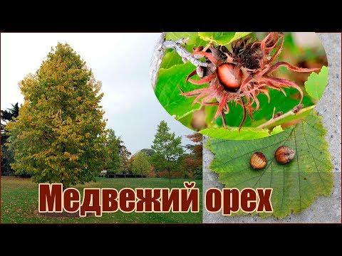 Медвежий орех или Лещина древовидная - размножение семенами - стратификация и посадка орехов