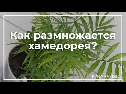 Как размножается хамедорея? | toNature.Info