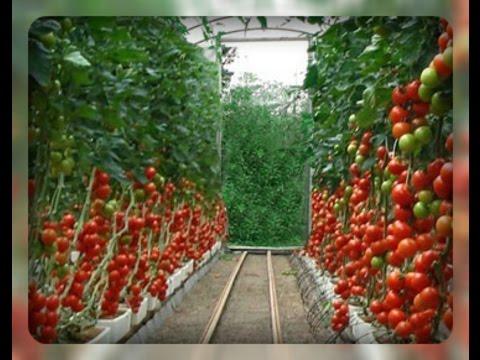 Томаты в теплице - отличный урожай. Все тонкости выращивания