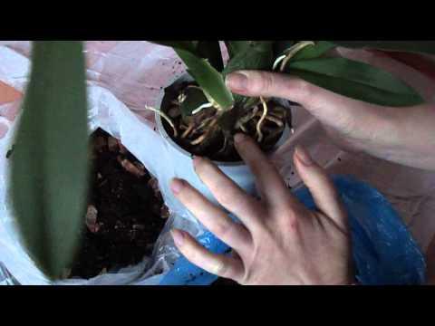 Как посадить камбрию. Пересадка орхидеи камбрии.