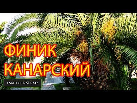 Пальма комнатная / Финик канарский / Финиковая пальма