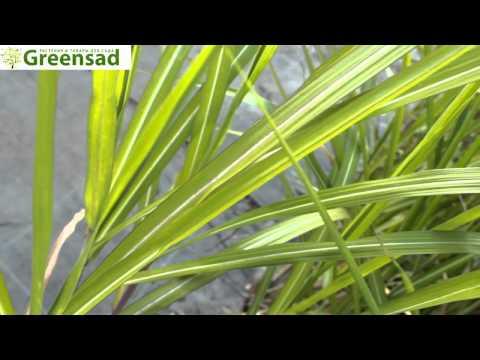 Мискантус Sp - видео-обзор от Greensad