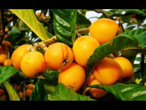 Совет: Красивый загар и Ваше здоровье. Мушмула-ценнейший плод!