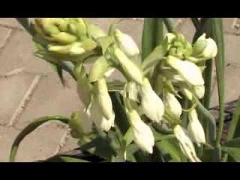Гальтония. Многолетние цветы.
