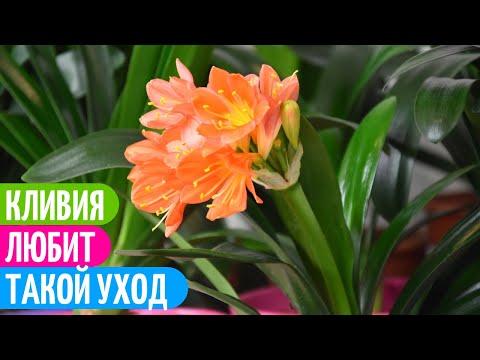 Уход За КЛИВИЕЙ - ЕСЛИ БЫ я Знала Об Этом РАНЬШЕ! Мои цветы.