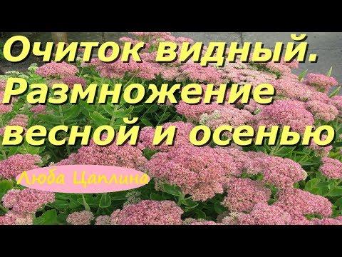 Очиток видный. Размножение весной и осенью.