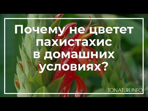 Почему не цветет пахистахис в домашних условиях?   toNature.Info