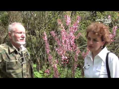 """Миндаль в вашем саду. Сайт """"Садовый мир"""""""