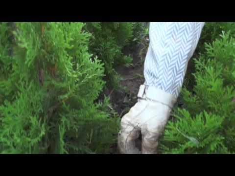 Туя Смарагд (Thuja Smaragd) посадка, подкормка, размножение