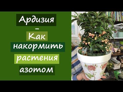 Таинственное растение- Ардизия. Как накормить растения азотом?