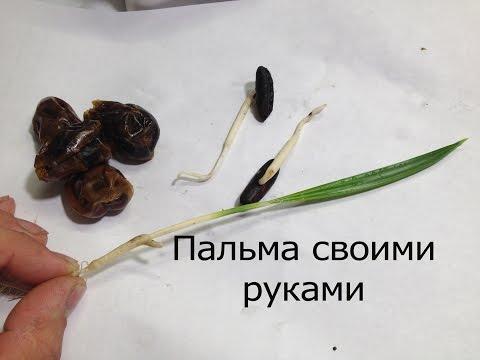 Пальма из косточки финика своими руками.