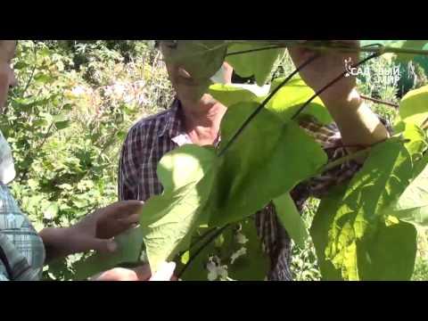 """Декоративные растения для сада. Катальпа или обезьянье дерево Сайт """"Садовый мир"""""""