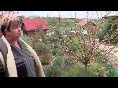 Миндаль . Миндаль Ложный ( Бобовник И Луизиания). Декоративные Садовые Кустарники