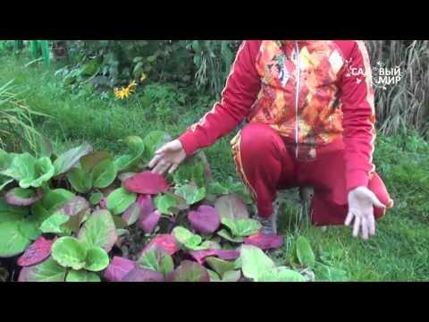 """Неприхотливые растения для сада Бадан. Сайт """"Садовый мир"""""""