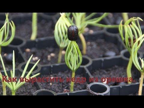 Как вырастить кедр,Выращивание кедров.