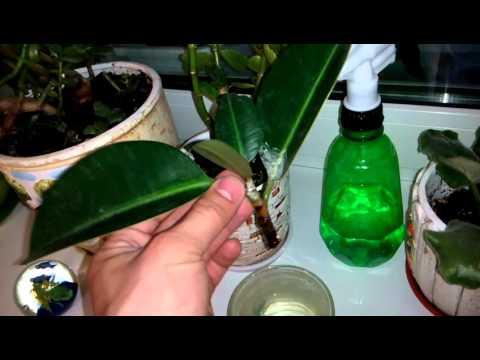 Фикус лировидный Ficus lyrata черенкование Размножение