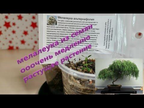 мелалеука альтернифолия: посев семян, пикировка, выращивание