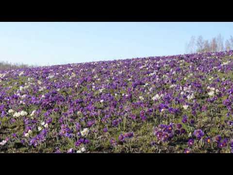 Цветы Сибири Подснежники