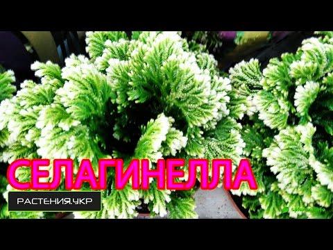 Селагинелла или плаунок / Selaginella or plaunok