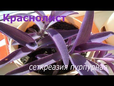 Краснолист Сеткреазия пурпурная