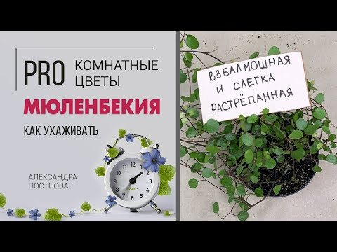 Кудряшка Сью | Мюленбекия - неприхотливое домашнее растение