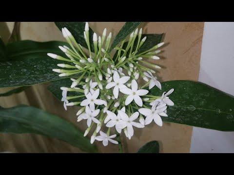 Acokanthera oblongifolia Акокантера